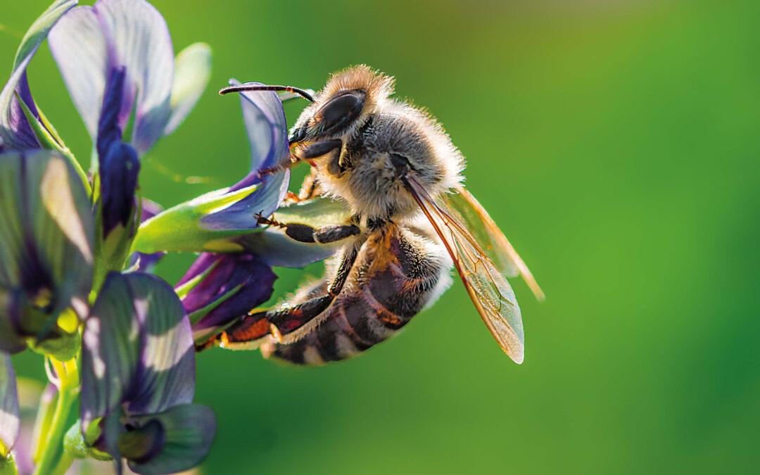 Czy możemy pomóc pszczołom?